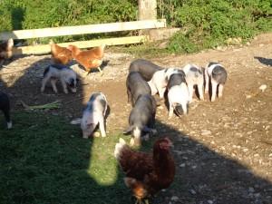 Hühner mit Schweinen