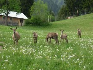 Hirsche beim Grasen.